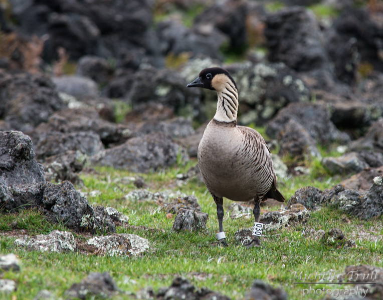 On the way to Mauna Kea, we were lucky enough to see a pair of Nene Geese.  The Nene is Hawaii's state bird. It is endemic to the Hawaiian Islands, and although its numbers have made a recovery in recent years, the Nene is still considered an endangered species.