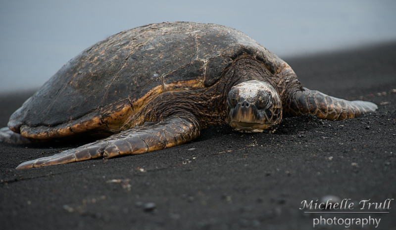 Giant Green Sea Turtles on Punalu'u Black Sand Beach