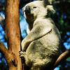 Brisbane, Lone Pine Koala Sanctuary, 2002<br /> Még filmre készült...