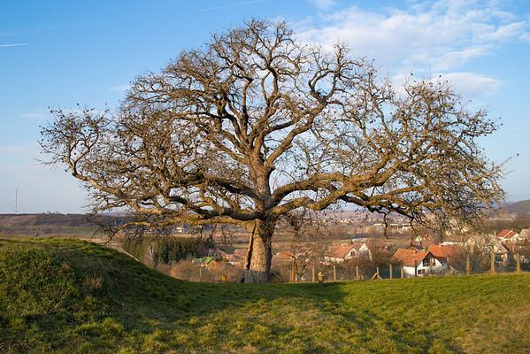 A romhányi 300 éves Rákóczi törökmogyoró fa