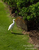 Cattle egret on our daily walking path along the beach
