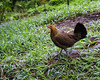 Wild jungle fowl on the side of the road