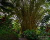 HUGE bamboo tree (Bruce is hidden behind the camera/lens of the watermark)