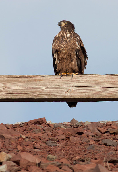 Juvenile bald eagle sitting on road guardrail, approximately 6 months old