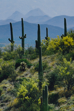 Sonora Desert-93119