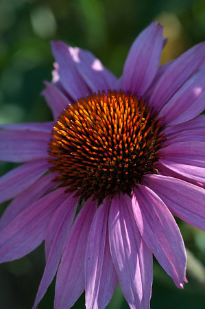 Purple Coneflower-0956
