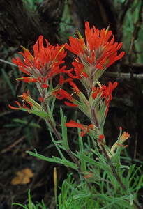 Indian Paintbrush-7480
