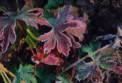 Wild Geraniums 7436