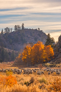Fall aspens with sheep