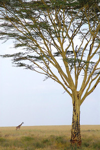 Yellow Fever Tree and Giraffe on the Serengeti   Tanzania 2008