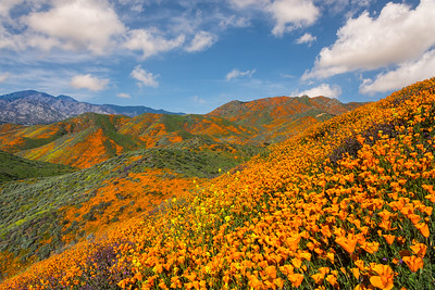 Poppy superbloom across the hillside, Walker canyon CA