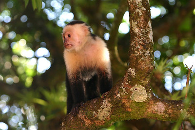 White-faced Capuchin, Monteverde Cloud Forest, Costa Rica