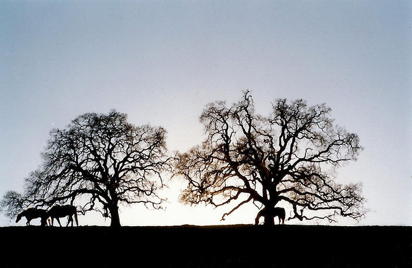 Horses and Trees on the Stanford Farm.