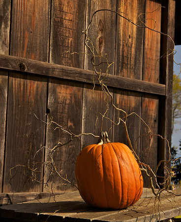 Pumpkin, UCSC Farm