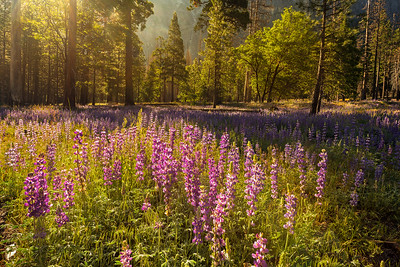 Lupine at sunrise, Yosemite National Park