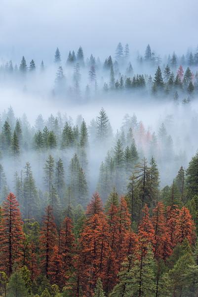 Foggy trees, Yosemite National Park