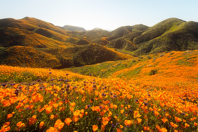 Poppy superbloom, Walker Canyon Lake Elsinore