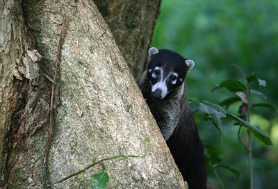 White-nosed Coati, Dominical, Costa Rica