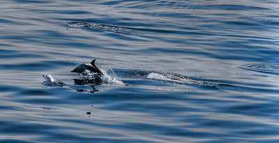 Dolphins in the Minch
