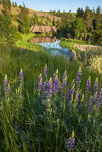 Lupine Bridge
