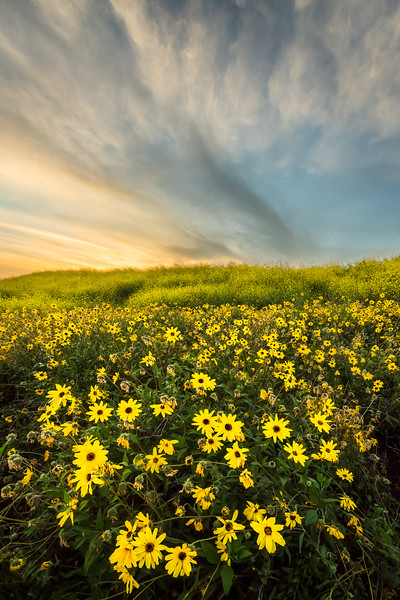 Spring sunflowers and mustard at sunset, Palos Verdes