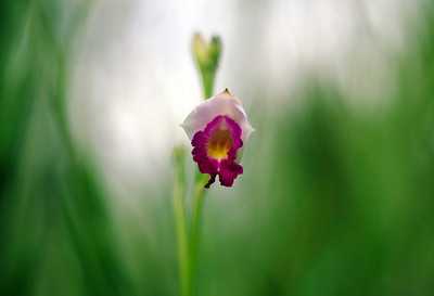 Solitary Hawaiian Orchid
