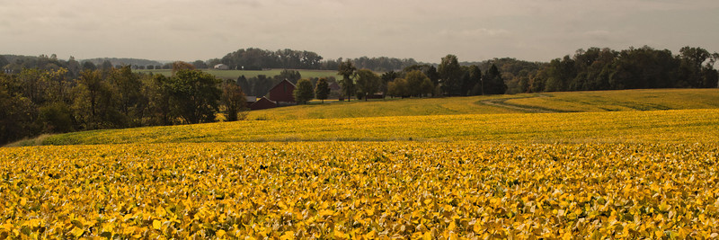 View across the soybean field