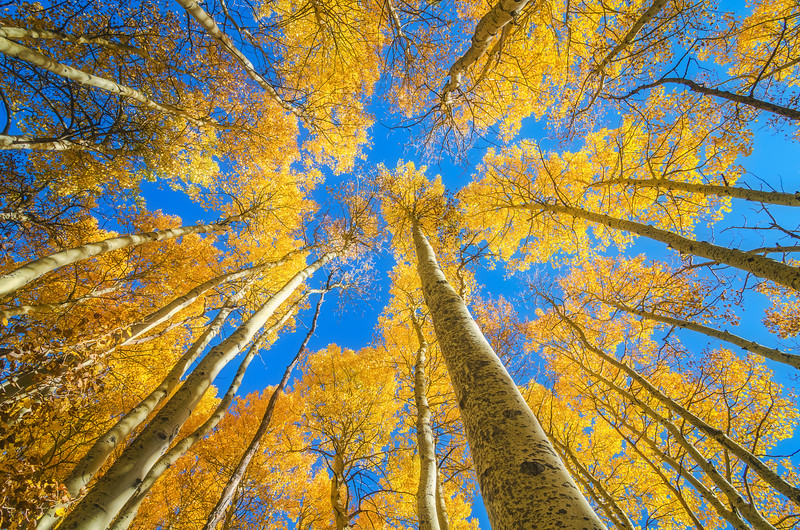Aspens in the fall, Eastern Sierras