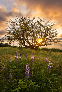Palos Verdes spring lupines at sunset