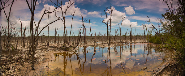 Dead Forrest. Photo taken in May 2013, Marco Island Florida.