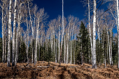 Aspen grove, Humphreys Peak, Flagstaff, AZ