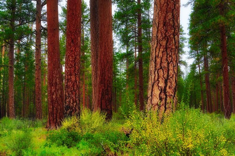 ~ Deschutes Forest ~