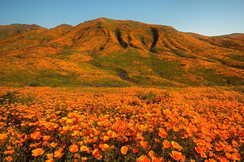 California poppy superbloom, Lake Elsinore CA
