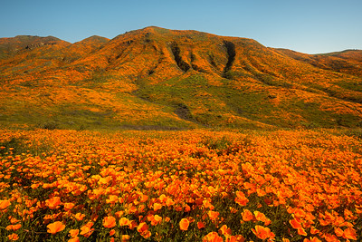 California poppy superbloom, Lake Elsinore CA
