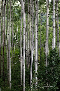 Aspen Trees in June
