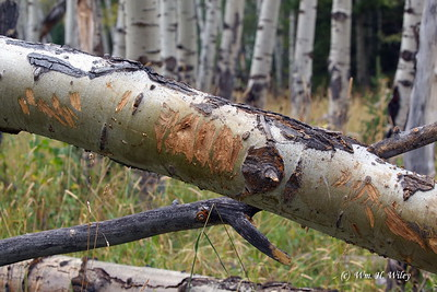 Scrapes on Fallen Aspen Tell a Story