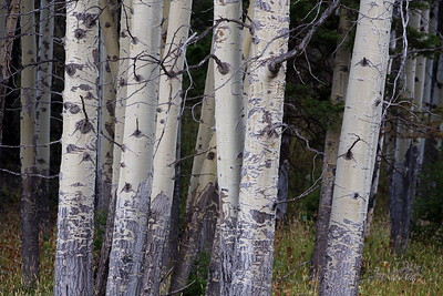 Aspen Trees Closeup