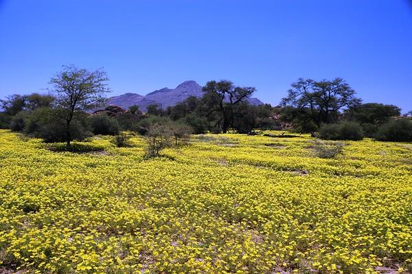 Namib Desert in Bloom
