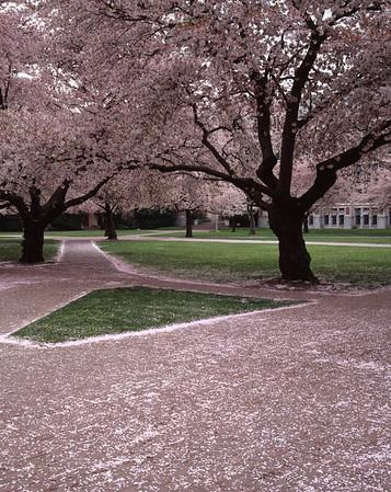 Walkway and Cherry Blossoms, University of Washington, Seattle, Washington