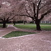 Walkway and Cherry Blossoms, University of Washington, Seattle, Washington
