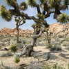 Joshua Tree, Joshua Tree NP, California