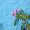 Pink Flowers Blue Wall
