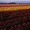 Tulips, Mt. Vernon, Washington