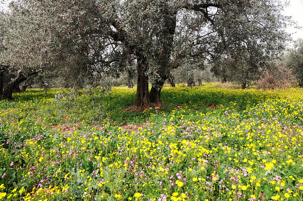 Olive Trees, Wildflowers, The Galillee, Israel