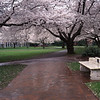 Cherry Blossoms, University of Washington, Seattle, Washington