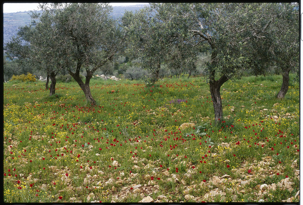 Olilve Orchard and Poppies in Bloom in the Galillee, Israel