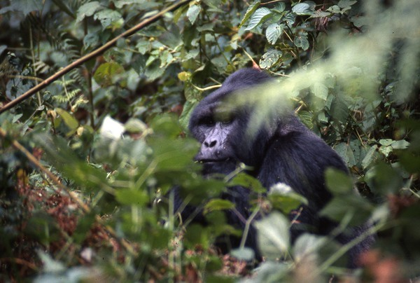 Silverback, Bwindi Impenetrable Forest, Uganda