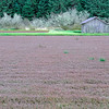 Cranberry Bog, Long Beach, Washington