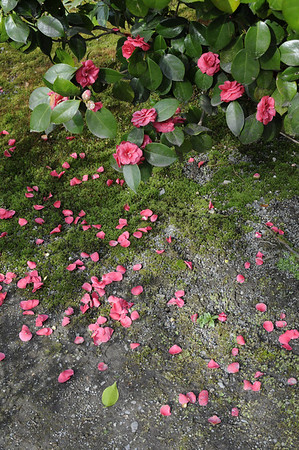 Camellia Blossoms at the Japanese Garden, Seattle, WA