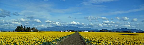 daffodils skagit valley mt vernon washington